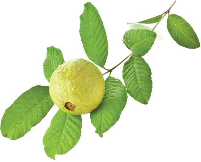 guava-leaves