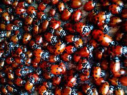 rid of lady bugs