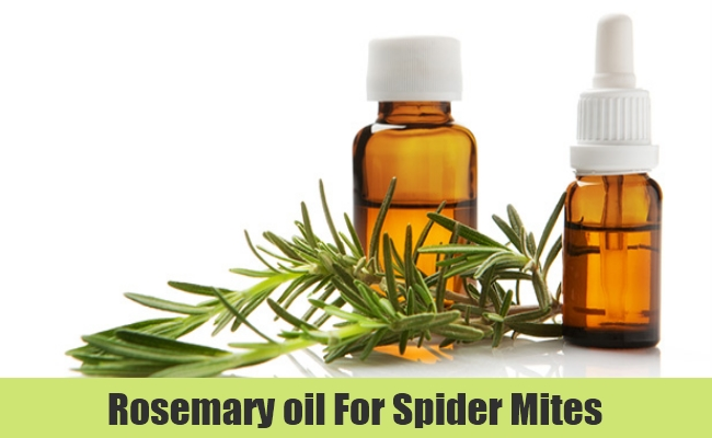 Rosemary Oil Spray for spider mites