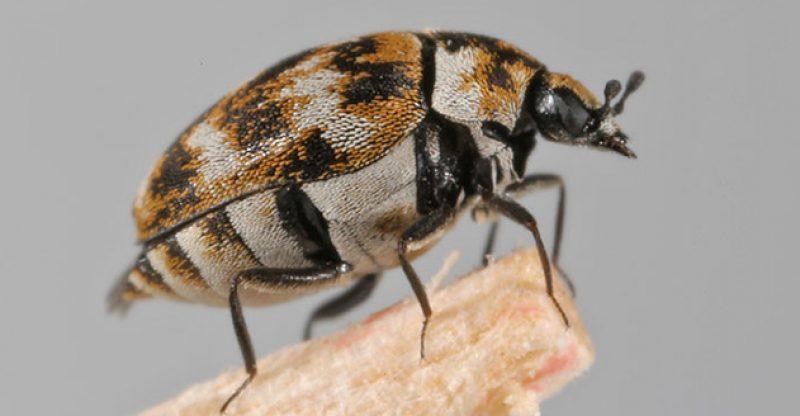 varied carpet beetle