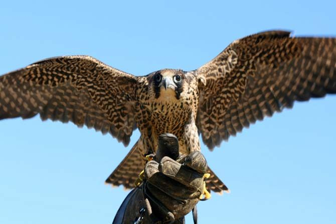 falcon or hawk