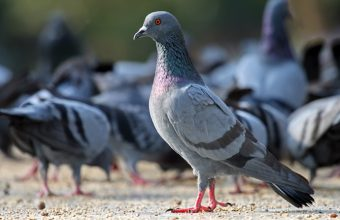 get rid of pigeons