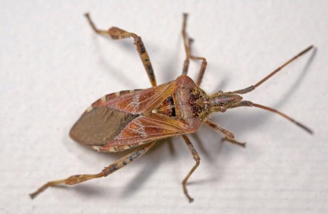 stink-bug