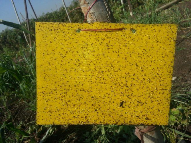 yellow-sticky-traps
